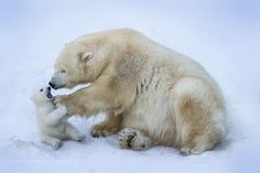 Mother polar bear with her baby.