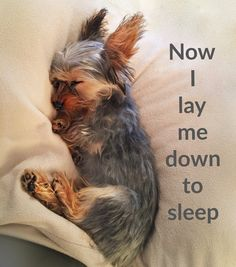 Now I lay me down to sleep. I love my Yorkie. PHOTO AND PIN BY FRAN FIELDS CORNELIUS. ALWAYS ASK PERMISSION TO USE A PHOTO. GIVE PROPER CREDIT TO THE CREATOR OF THE PHOTO/PIN. DOGDOGZ.COM, PUP HOME, and THEPETSGUIDES.COM have taken my name off of my photos/pins and reposted them. PHOTO AND PIN BY FRAN FIELDS CORNELIUS. Cute Puppies, Cute Dogs, Dogs And Puppies, Doggies, Happy Animals, Animals And Pets, Cute Animals, Teacup Yorkie, Silky Terrier
