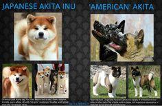 American Akita 12 Months Old Akita Dog American Akita Japanese Dogs