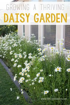 Do you love Daisies as much as we do? Today we are sharing everything you need to know about creating a thriving daisy garden! Once you get them started they require very little care and get bigger and better every year! #ad #GilmourGardens #GilmourGardening