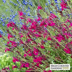 Red Salvia Raspberry Delight, Salvia Raspberry Delight, Raspberry Delight Hybrid Bush Sage