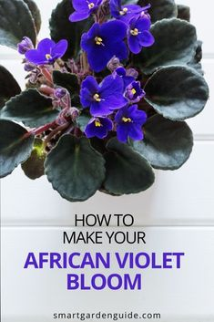 Simple tips to help you get your African Violets to bloom, and thrive year after year. Shade Garden Plants, Indoor Flowering Plants, Blooming Plants, Outdoor Plants, Air Plants, Self Watering Pots, Kitchen Plants, Saintpaulia, Smart Garden