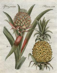 Fruits and seeds From: http://www.georgeglazer.com/archives/prints/botanical/bertuchbot/trop-bromeliaananas.JPG