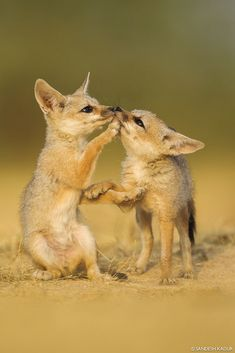 Indian Fox Pups