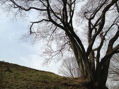大桜のシルエット:魚の庭 <2013-03-18>