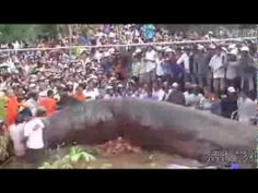 [Seen Once in a Lifetime] Giant Monster Fish Found Dead in Khmer Krom