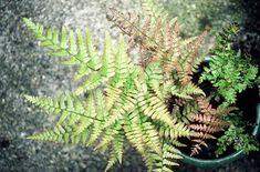 Dryopteris erythrosora, semi-evergreen fern for shade.