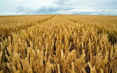 Agriculture: Global warming could hurt crops : Nature : Nature Publishing Group Wheat Fields, Recipe Organization, Bad Food, Alternative Treatments, Science And Nature, Nature Nature, Global Warming, Raw Food Recipes, Buen Dia