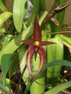 Bulbophyllum vanvuurenii 'Chocolate'