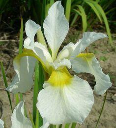 Wisley White Siberian Iris  chapmaniris.com