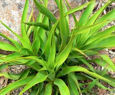 How to propagate a yucca plant