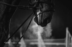 Black Thoroughbred : Photo