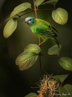 Blue and Green Bird.