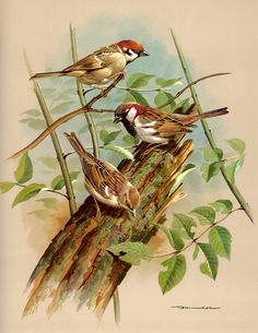 Vintage Bird Print Book Plate of Sparrow Basil Ede 1965 Illustration Cross Paintings, Animal Paintings, 5d Diamond Painting, Bird Drawings, Vintage Birds, Bird Species, Wild Birds, Bird Prints, Bird Art
