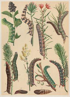 Raupen / Entomologisches Schaubild, 1884-1910
