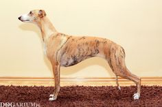 whippet Tappinskis RUBI FOR DOGARIUM 'Rubi' - 1 year 10 months