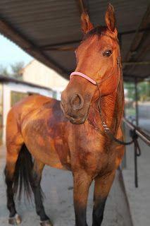 Kedvenc magyar, csomózott felszerelést készítő márkámat mutatom be, a SibuGranadát. Marvel, Horses, Animals, Animales, Animaux, Horse, Animal, Animais