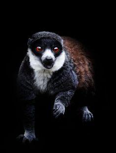 Lemur by Sue Demetriou Wildlife Park, Monkey Business, Primates, Black Bear, Animal Pictures, Animals Photos, Nature Photography, Fox, Africa