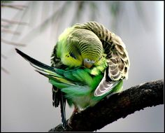 Reminds me of Milo, one of my parakeets from childhood :)