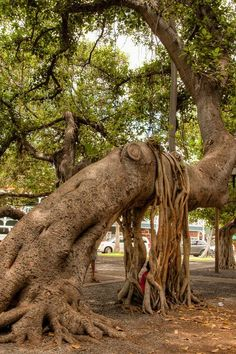Hawaii  -- the   popular   Banyan   tree    in   Downtown      Lahaina