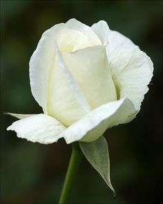 The White Rose by Foto Martien, via Flickr