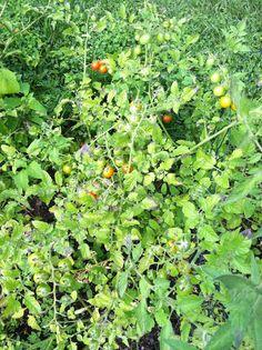 Cherry tomatoes 7-28-13.