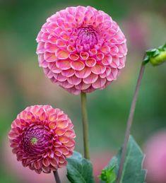Garden Bulbs, Garden Soil, Home Flowers, Types Of Soil, Summer Garden, Indoor Plants, Perennials, Frost, Pink