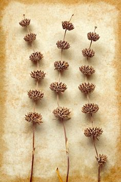 """beautiful image! """"Dried Sage"""" by Colleen Farrell"""