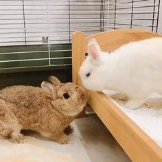#bunnycute #bunnyoftheday #rabbitoftheday #cutebunnyvideos #bunny #netherlanddwarfbunny #cute
