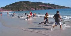 30 Dolphins stranding and incredibly saved! A VIDEO recording of an unusual rescue!