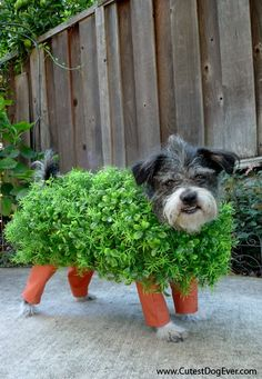 "Dressing your pet up as a ""chia pet"" is a clever Halloween pun. If you've decided to make your own pet costumes this Halloween, this is one that should be at the top of your list. Diy Halloween, Chien Halloween, Homemade Halloween Costumes, Costume Halloween, Halloween Clothes, Chihuahua Halloween Costumes, Inexpensive Halloween Costumes, Happy Halloween, Halloween Series"
