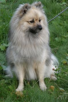 German #Spitz (Deutscher) / Mittelspitz / Kleinspitz #Dogs #Puppy