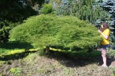 Acer palmatum dissectum Viridis: Weeping Japanese Maple The cascading, mounding form of Viridis displays the classic branching of a Japanese Maple. Its bright green, delicately dissected leaves turn golden-yellow and red in fall.