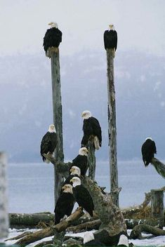 A group of Bald Eagles perch on wooden posts of Prey Pretty Birds, Beautiful Birds, Animals Beautiful, Photo Aigle, Animals And Pets, Cute Animals, Nature Animals, Tier Fotos, All Gods Creatures