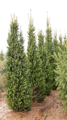 A columnar form with dark green foliage. Stiff branches held close to the trunk allow this cultivar to withstand snow load better than most columnar evergreens. Zones after 10 yrs. Evergreen Shrubs, Trees And Shrubs, Flowering Trees, Evergreen Garden, Norway Spruce Tree, Shade Annuals, Picea Abies, Privacy Trees, Landscaping Plants