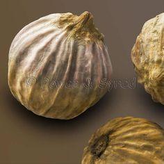 ^Coriander seed pod (Coriandrum sativum)