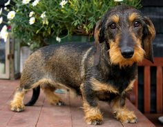 A very stuningly beautiful Wirehair Dachshund. Weenie Dogs, Dachshund Puppies, Daschund, Dachshund Love, Cute Puppies, Doggies, Happy Animals, Animals And Pets, Cute Animals