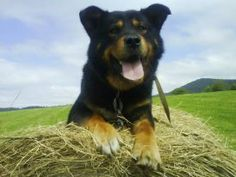 Rottweiler cross with Alaskan malamut :*