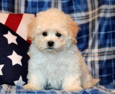 Get A New Puppy Today! View our ADORABLE Newborn Puppies Shichon Puppies For Sale, Baby Puppies For Sale, Newborn Puppies, Cute Puppies, Maltipoo Haircuts, Teddy Bear Puppies, New Puppy, Cute Babies, Curly