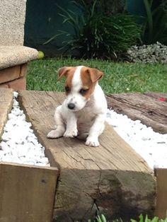 Lovely Jack Russell Terrier