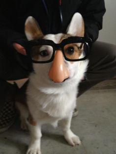 Corgi disguises.