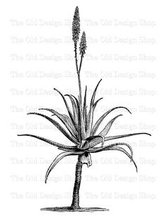 Aloe Vera Clip Art Vintage Printable Botanical by TheOldDesignShop Plant Illustration, Botanical Illustration, Sketch Drawing Images, Drawings, Aloe Vera Tattoo, Jewelry Store Design, Tattoo Photography, Pen Art, Quote Tattoos