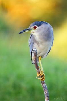 Black-crowned night-herons are found almost everywhere, except in the coldest regions and Australasia.
