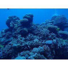 美しい珊瑚の量が果てしない さすがグレートバリアリーフでした #kunikaphoto #Austraria #Cairns #greatbarrierreef #diving #divingphoto by _kunika_ http://ift.tt/1UokkV2