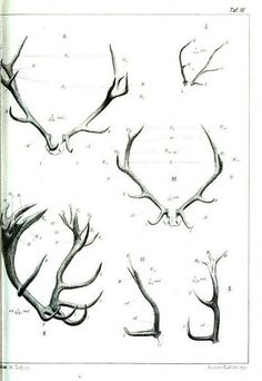Antlers. Comparative Anatomy from Gegenbaurs morphology