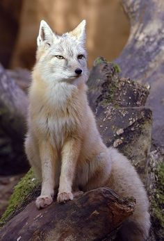 Corsac Fox: does not dig its own burrows, but most of the time it takes over other animals' burrows