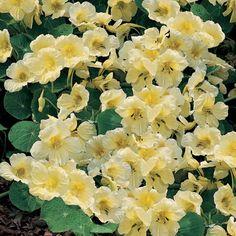 Nasturtium 'Milkmaid' - Half-hardy Annual Seeds - Thompson & Morgan