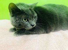 How often should you bathe your cat? A good guideline is to wash shorthairs no more than every six weeks; two to three times a year during…