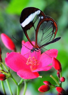Glass Wing Butterfly-i have seen one of these. They are so beautiful