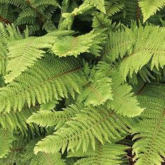 Ferns Suitable for Dry Shade - Polystichum setiferum 'Herrenhausen'.